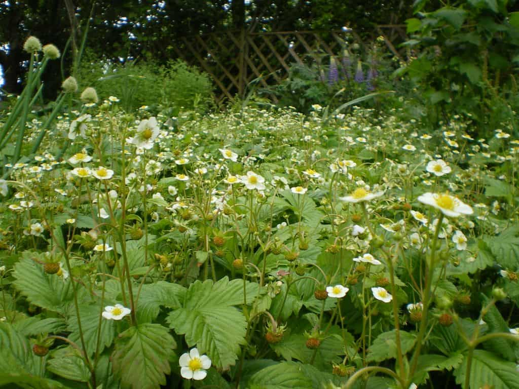 wild-strawberry-groundcover-food-forest-garden