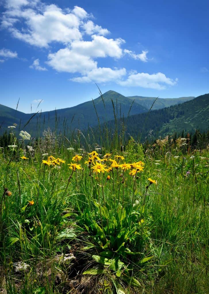 Arnica flowers (Arnica montana) on a background of mountains and