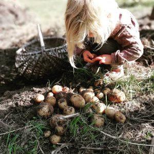 potato-harvest-mindful-kids