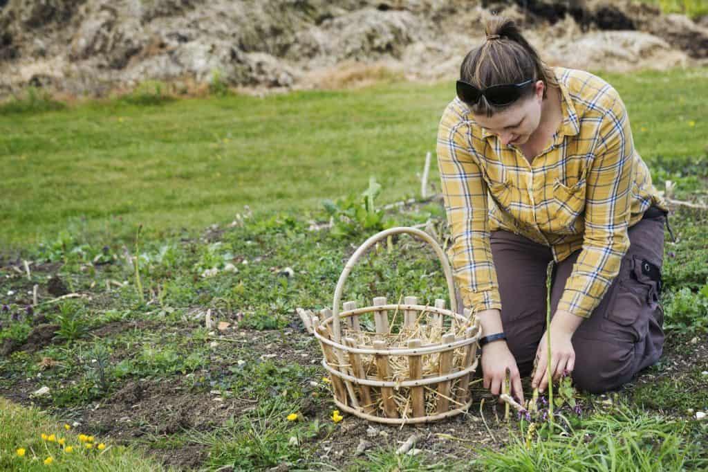 asparagus-plants-roots