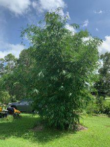 Gigantochloa-pseudoarundinacea-gombong-batu-feature-bamboo