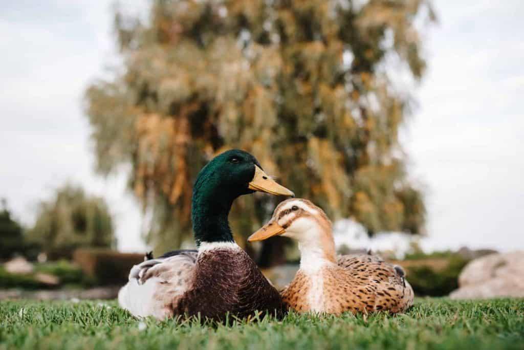 beginners-guide-raising-ducks