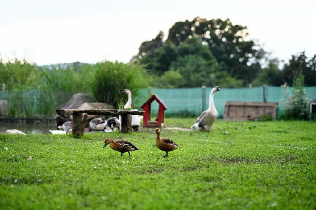 Ducks by pond on farm in countryside, summer day