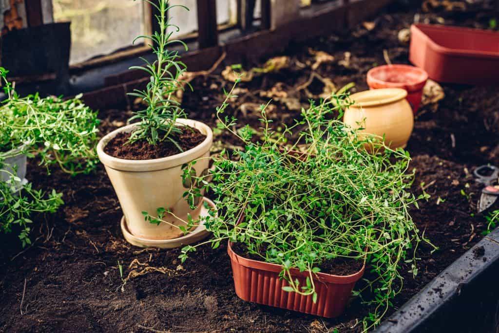 Fresh Herbs in Pots in Garden
