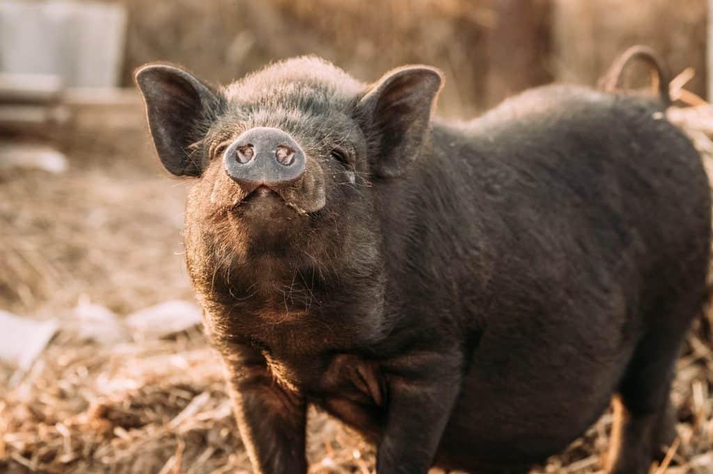 raising-pigs-piglets