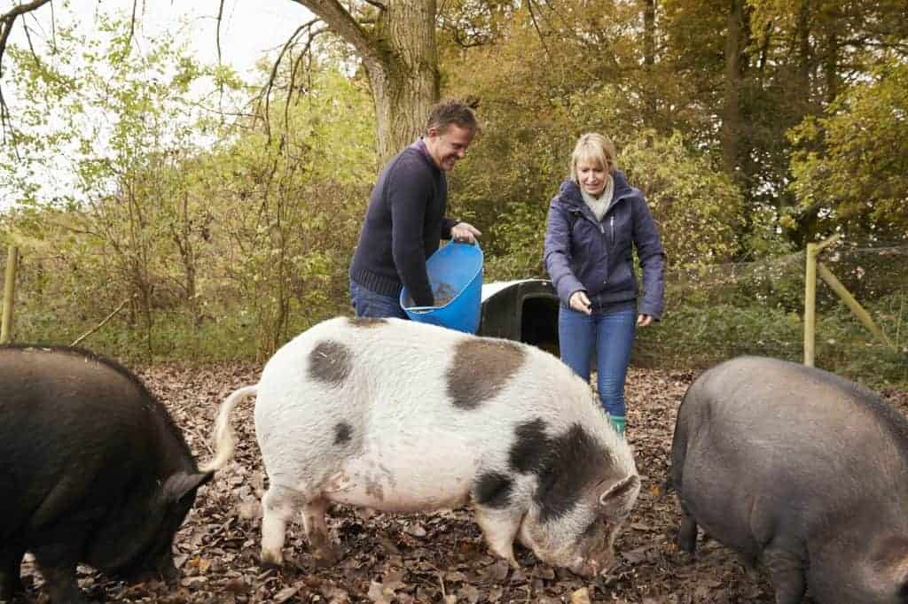 how-much-do-pigs-cost-to-raise-buy