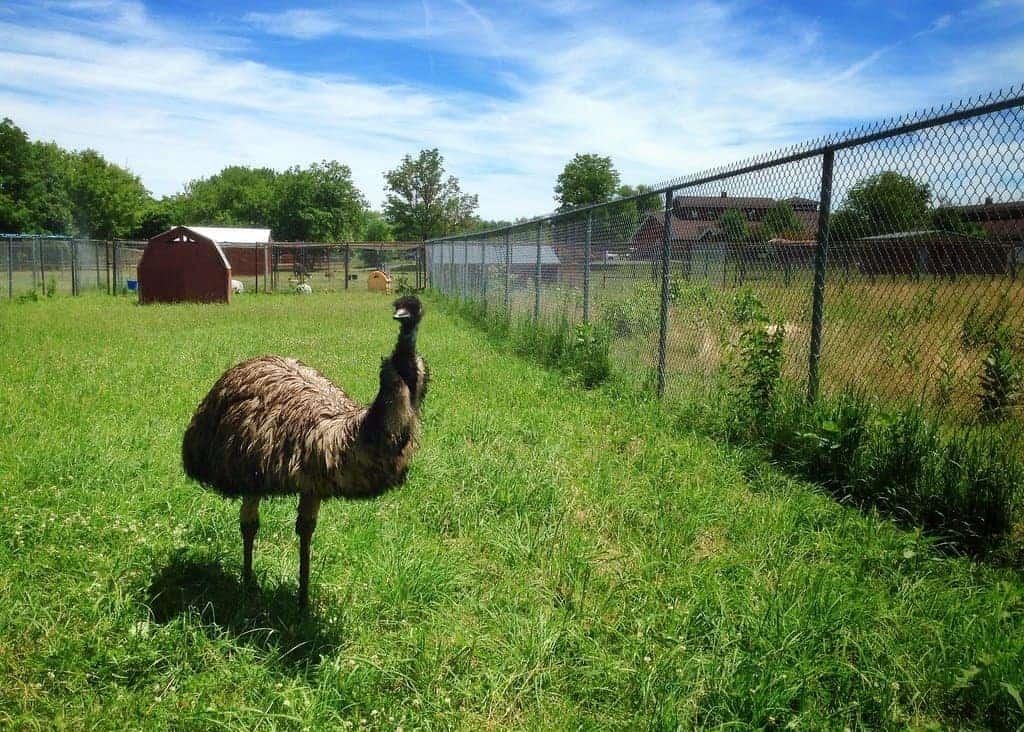 raising-emu-homestead-farm-animals