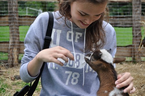how-to-keep-goats-entertained-with-goat-toys