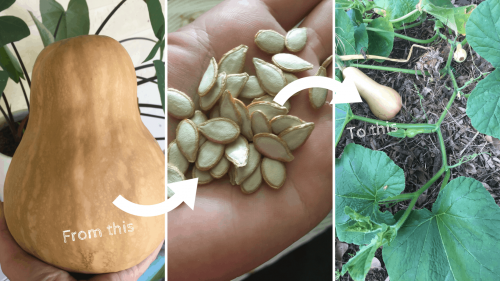 how-to-save-pumpkin-seeds-for-planting-next-year